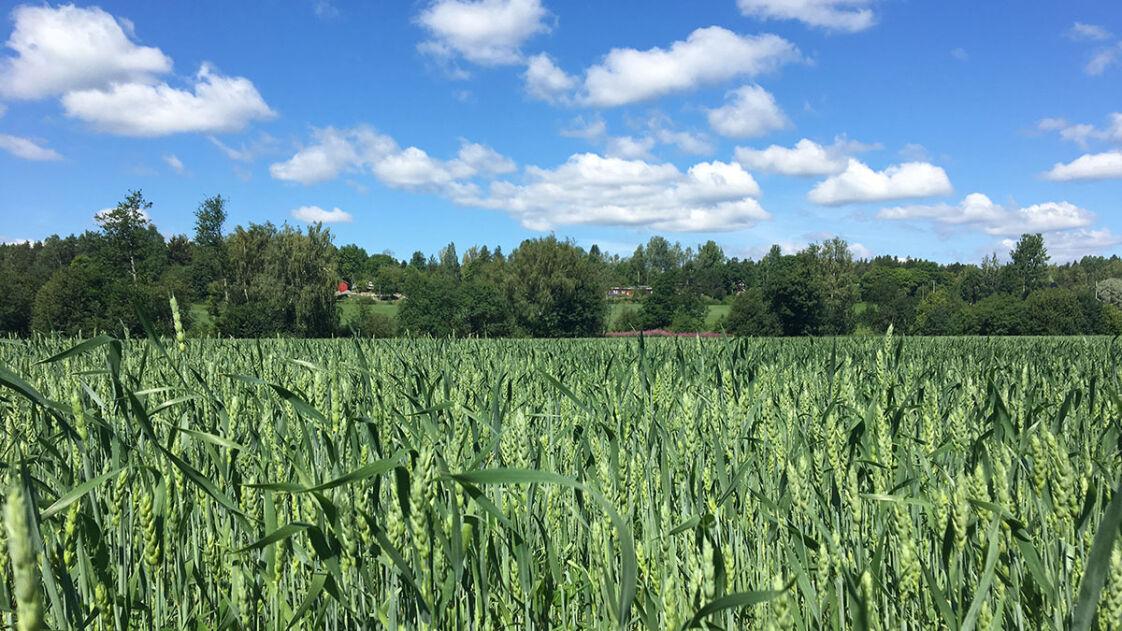 Vehreä viljapelto, taustalla metsää ja kaunis sininen taivas jossa pilviä.