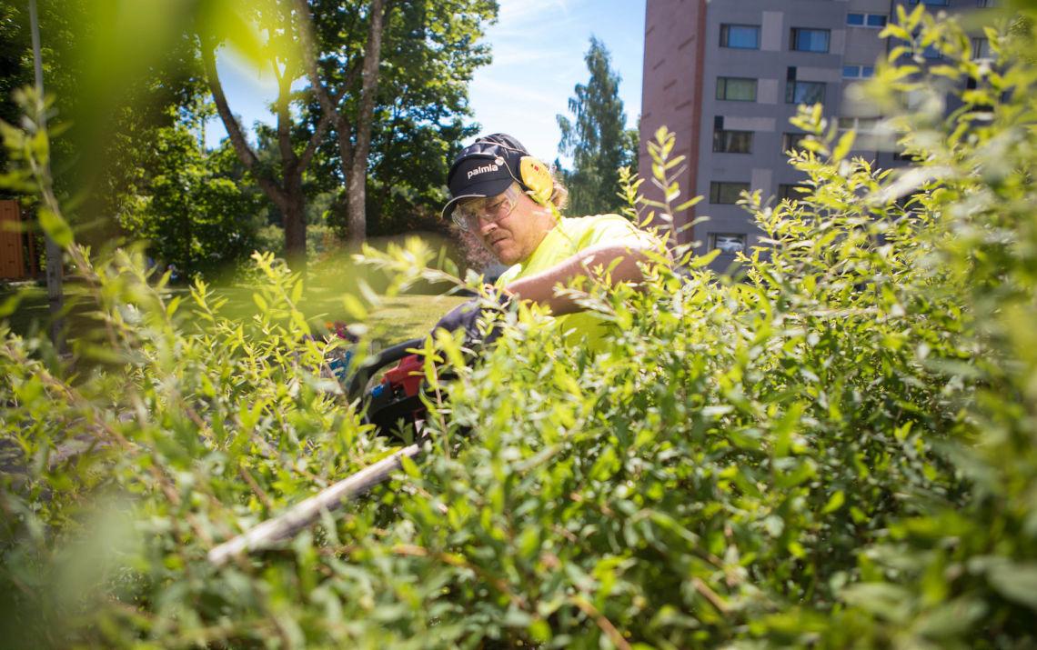 Viherpalvelutyöntekijä tasoittaa pensaan korkeutta trimmerillä.